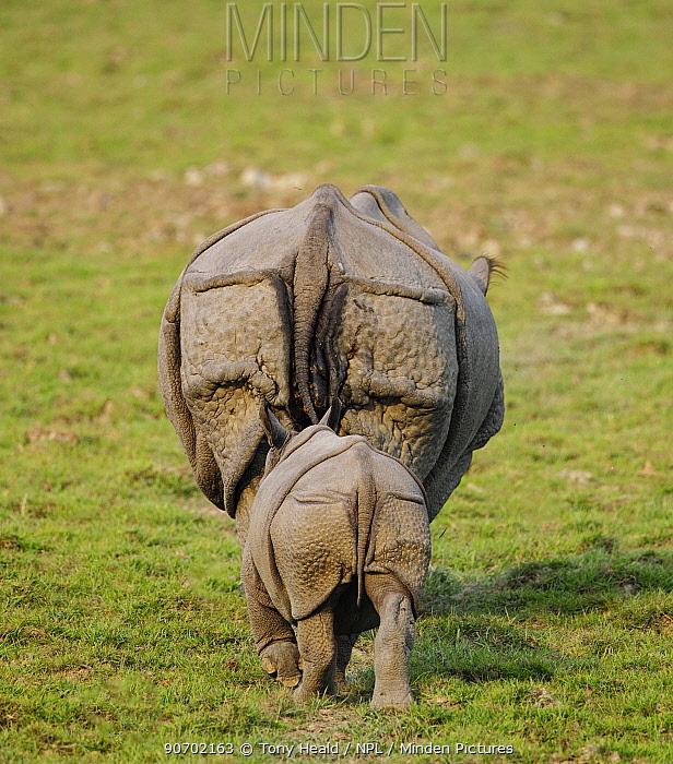 Indian rhinoceros (Rhinoceros unicornis) mother and calf, rear view. Kaziranga National Park, Assam, India. Vulnerable species