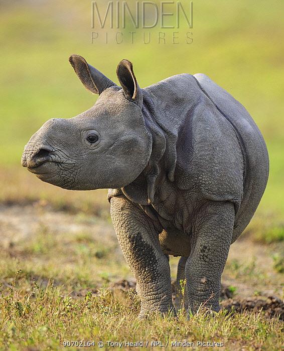 Indian rhinoceros (Rhinoceros unicornis) calf, Kaziranga National Park, Assam, India. Vulnerable species