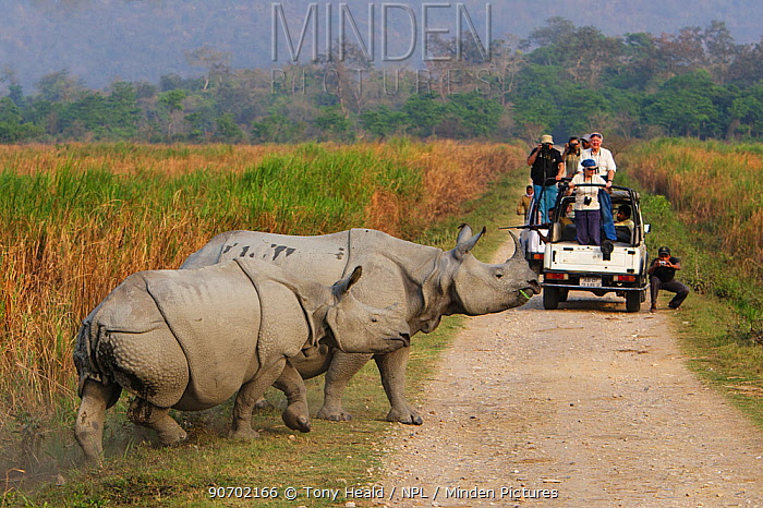 Indian rhinoceros (Rhinoceros unicornis) mother and calf, with tourists in jeep watching them, Kaziranga National Park, Assam, India. Vulnerable species.
