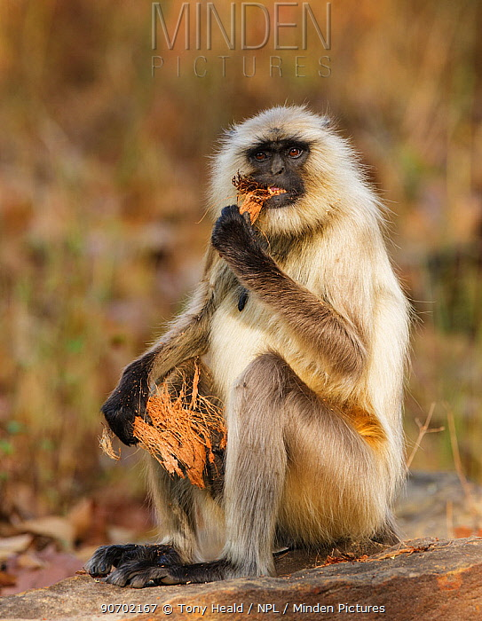 Hanuman langur (Semnopithecus entellus) eating coconut husk, Bandhavgarh National Park, India. March.
