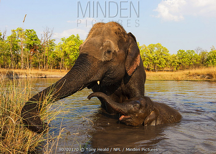 Asian elephant (Elephas maximus) mother and baby domesticated elephants in water, Bandhavgarh National Park, India. March.