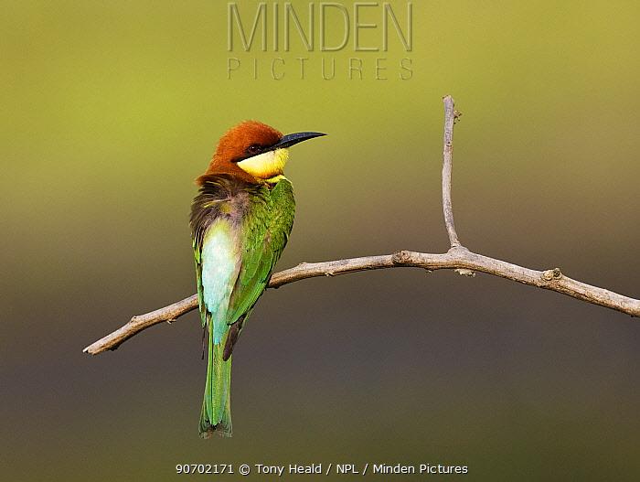 Chestnut-headed bee-eater (Merops leschenaulti) Kaziranga National Park, Assam, India, March.