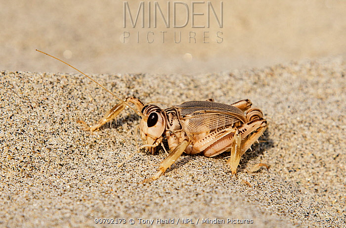 Dune cricket (Schizodactylus) on sandy bank, Brahmaputra River, Assam, India, March.
