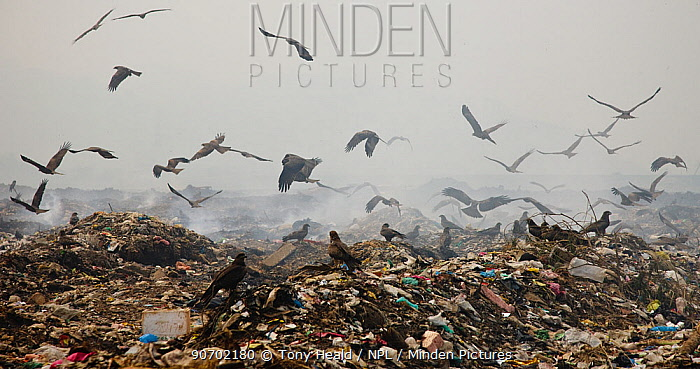 Black kites (Milvus migrans) scavenging at landfill site, Guwahti, Assam, India, March 2009.