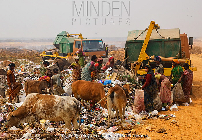 Indian women on landfill site, picking through the rubbish, with cattle, Guwahti, Assam, India, March 2009.
