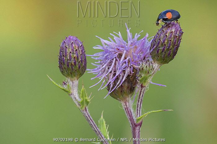 Two spot ladybird (Adalia bipunctata) on thistle, Peerdsbos, Brasschaat, Belgium, July.