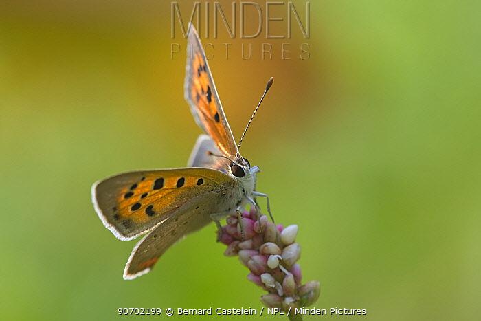 Small copper (Lycaena phlaea) butterfly, Peerdsbos, Brasschaat, Belgium, July.