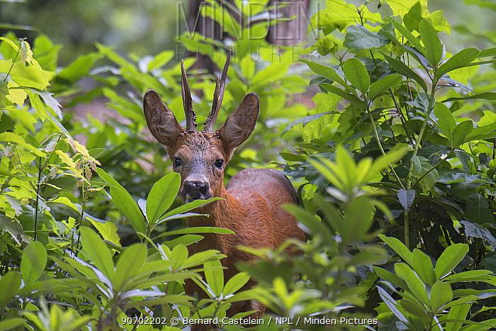 Roe Deer (Capreolus capreolus) stag peering through vegetation, Peerdsbos, Brasschaat, Belgium, July.