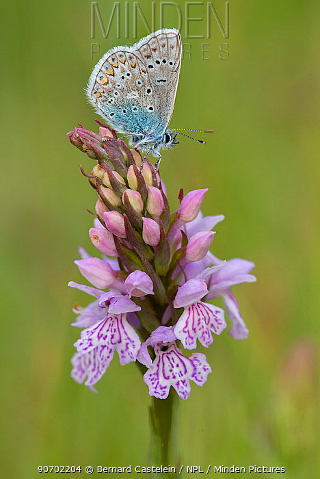 Common Blue (Polyommatus icarus) on Heath spotted orchid (Dactylorhiza maculata)  Brasschaat, Belgium, May.