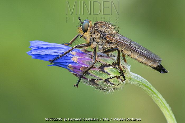 Robberfly (Eutolmus rufibarbis)  on Cornflower (Centaurea cyanus), De Inslag, Brasschaat, Belgium, June.
