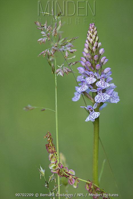 Heath spotted-orchid (Dactylorhiza maculata) De Inslag, Brasschaat, Belgium, June.