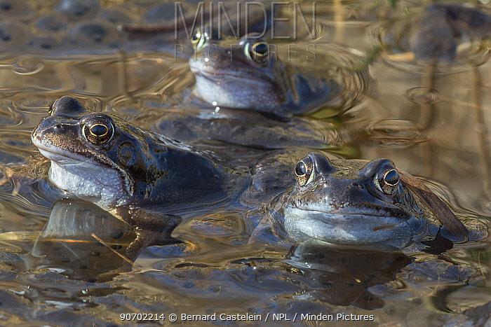 Common frogs (Rana temporaria) in pond, Klein Schietveld, Brasschaat, Belgium, March.