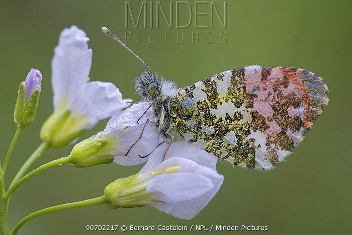 Orange tip (Anthocharis cardamines) male on Cuckoo flower (Cardamine pratensis) Klein Schietveld, Brasschaat, Belgium, May.