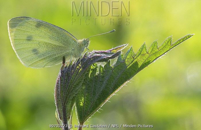 Small white (Pieris rapae) on Nettle leaf (Urtica dioica)  Groot Schietveld, Wuustwezel, Belgium, May.