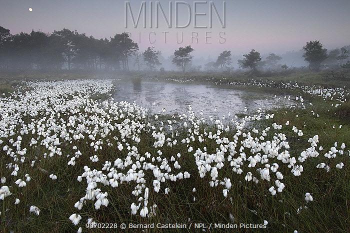Common cottongrass (Eriophorum angustifolium) at dawn,  Groot Schietveld, Wuustwezel, Belgium, June.