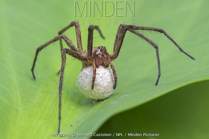 Nursery web spider (Pisaura mirabilis) carrying eggs, Brasschaat, Belgium, June.