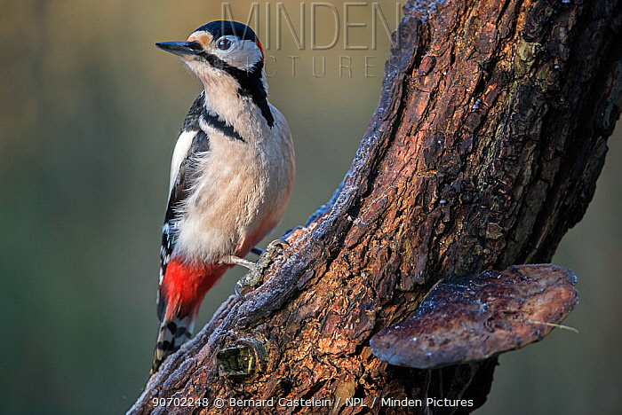 Great spotted woodpecker(Dendrocopus major) male perched on branch, Brasschaat, Belgium, January.