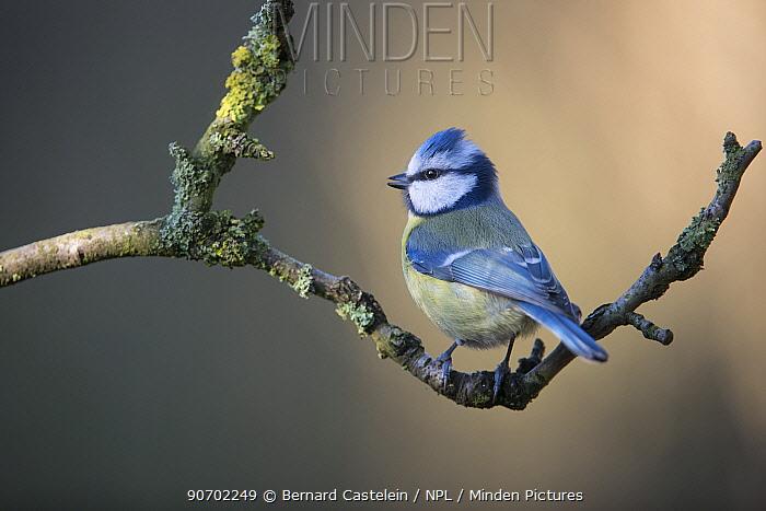 Blue tit (Cyanistes caeruleus) perched on branch, Brasschaat, Belgium