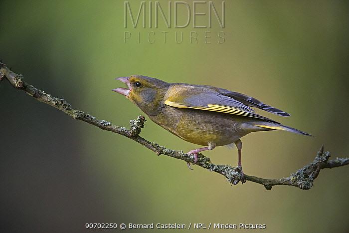 Greenfinch (Carduelis chloris) calling, Brasschaat, Belgium, March.