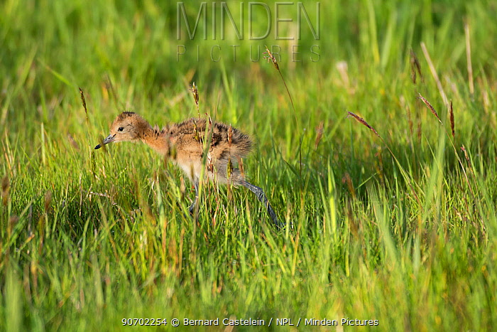 Black-tailed godwit (Limosa limosa) chick walking through grass, Texel, The Netherlands, May.