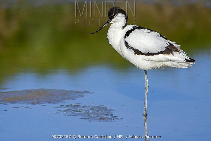 Avocet (Recurvirostra avosetta) standing on one leg in water,, Texel, The Netherlands