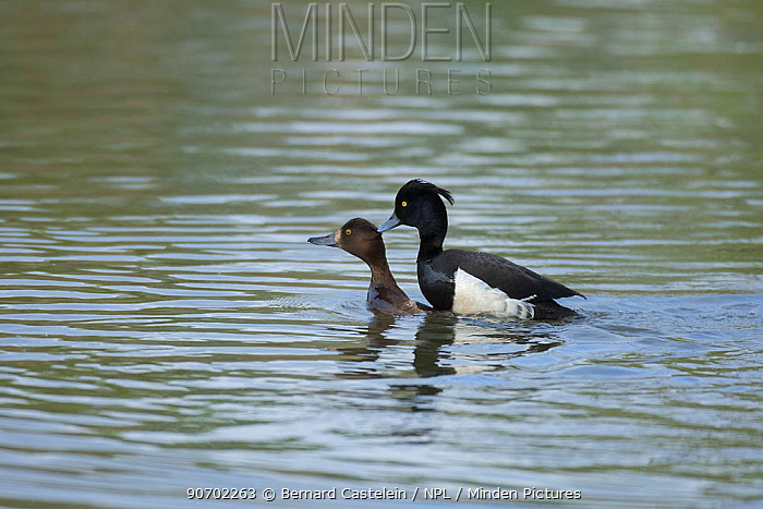 Tufted duck (Aythya fuligula) pair mating, Antwerpen, Belgium, June.