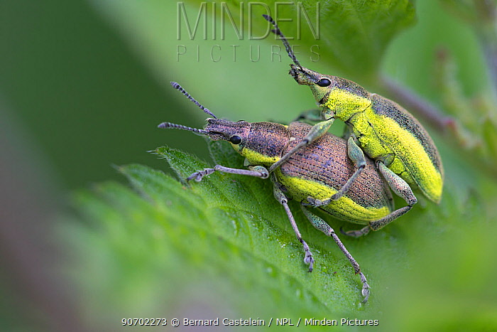 Green weevils (Curculio viridis) mating, Peerdsbos, Brasschaat, Belgium, June.