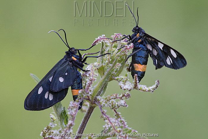Nine-spotted moths (Syntomis phegea) on Nettle (Urtica dioica) Peerdsbos, Brasschaat, Belgium, June.