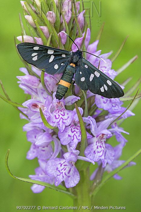 Nine-spotted moth (Syntomis phegea) on Heath spotted orchid (Dactylorhiza maculata) Peerdsbos, Brasschaat, Belgium, June.
