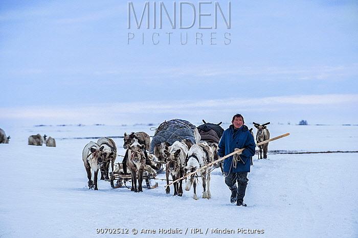 Nenet herdsman leading herd of Reindeer (Rangifer tarandus) during summer migration, Yamal Peninsula, Russia. May.