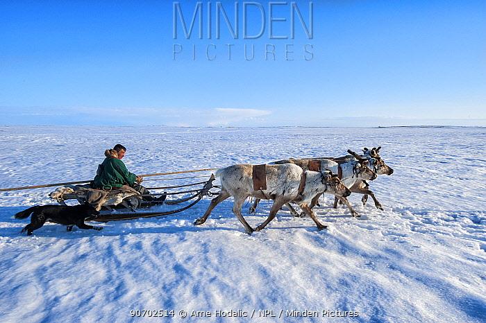 Nenet herdsman on sled pulled by Reindeer (Rangifer tarandus) during summer migration, Yamal Peninsula, Russia. May.