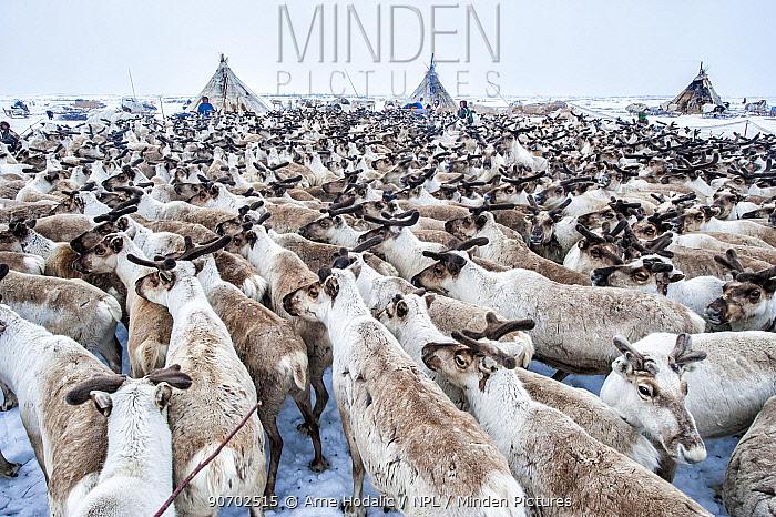 Nenet herdsman with Reindeer (Rangifer tarandus) during summer migration, Yamal Peninsula, Russia. May.