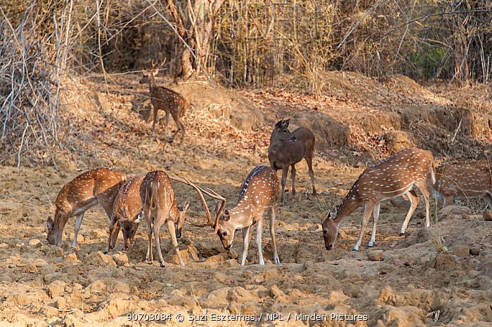 Axis Deer (Axis axis) herd grazing, Tadoba National Park, India.