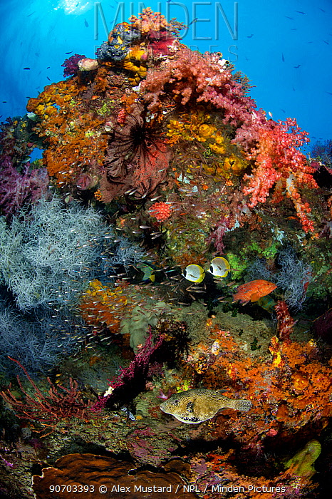 Colourful reef scene with Coral grouper (Cephalopholis miniata), map puffer (Arothron mappa) and Panda butterflyfish (Chaetodon adiergastos). Tank Reef, Fiabacet Islands, Misool, Raja Ampat, Indonesia. West Papua.