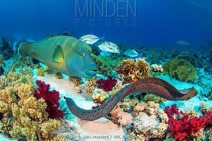 Group of predators hunting together, in an example of 'Nuclear foraging'. The Moray eel (Gymnothorax javanicus) flushes out prey, and is followed by a Napolean wrasse (Cheilinus undulatus) and a Bluefin trevally (Caranx melampygus).  Ras Mohammed Marine Park, Sinai, Egypt. Red Sea.
