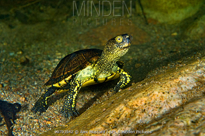 European pond turtle (Emys orbicularis) underwater on the bed of a granite mountain stream. San Teodoro, Sardinia, Italy, May.