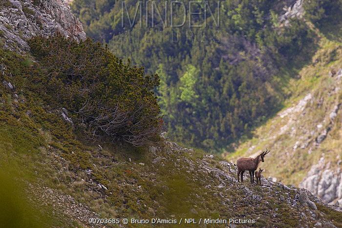 Apennine chamois (Rupicapra pyrenaica ornata) female with newborn kid in mountain habitat with Dwarf pine (Pinus mugo) shrubland. Endemic to the Apennine mountains. Abruzzo, Italy, June.