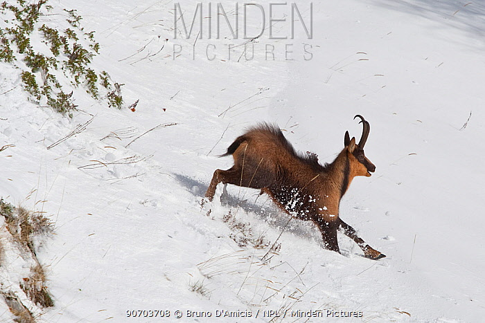 Apennine chamois (Rupicapra pyrenaica ornata) adult male running in snow. Endemic to the Apennine mountains. Abruzzo, Italy, November.