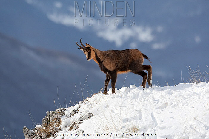 Apennine chamois (Rupicapra pyrenaica ornata) adult male in snow. Endemic to the Apennine mountains. Abruzzo, Italy, November.