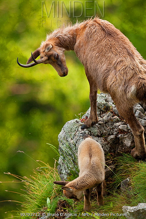 Apennine chamois (Rupicapra pyrenaica ornata) female with kid. Endemic to the Apennine mountains. Abruzzo, Italy, June.