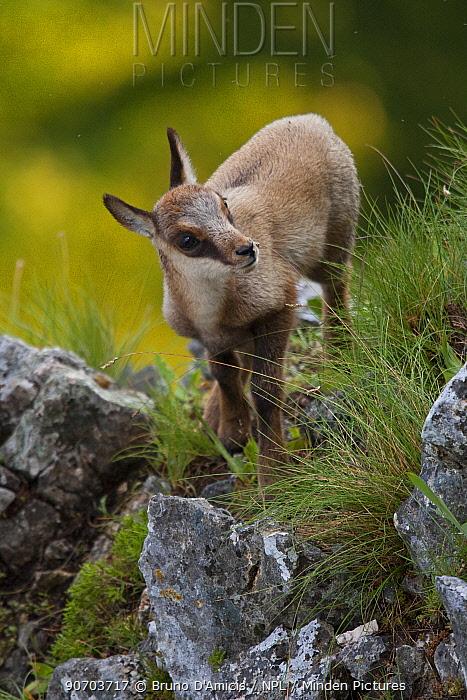 Apennine chamois (Rupicapra pyrenaica ornata) kid. Endemic to the Apennine mountains. Abruzzo, Italy, June.