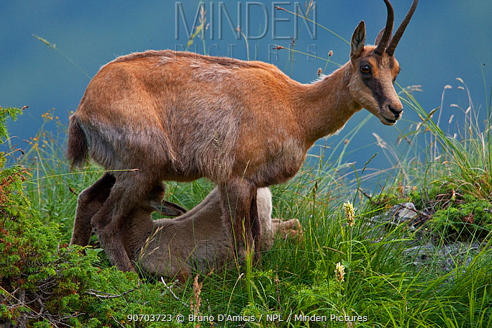 Apennine chamois (Rupicapra pyrenaica ornata) adult female nursing her kid. Endemic to the Apennine mountains. Abruzzo, Italy, July.