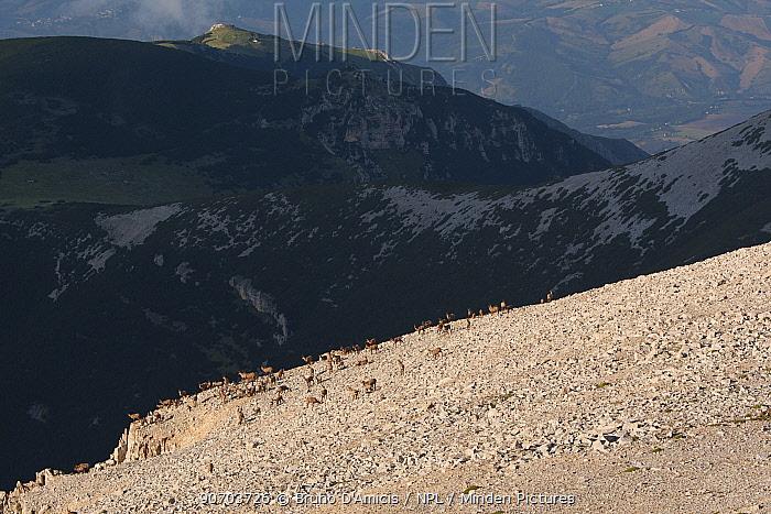 Apennine chamois (Rupicapra pyrenaica ornata) herd on altitude plateau of Majella Massif on a summer evening. Endemic to the Apennine mountains. Majella National Park. Abruzzo, Italy, July.