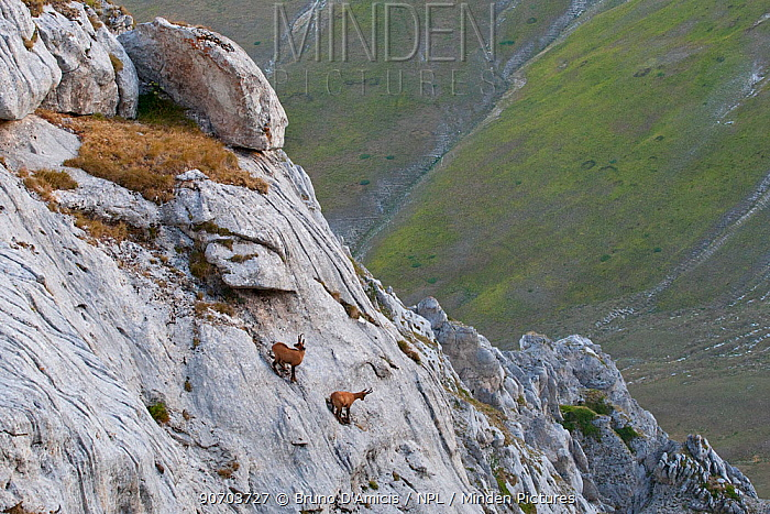 Apennine chamois (Rupicapra pyrenaica ornata) males challenging on extremely steep and smooth rock wall. Endemic to the Apennine mountains. Sibillini NP. Marche, Italy, August.