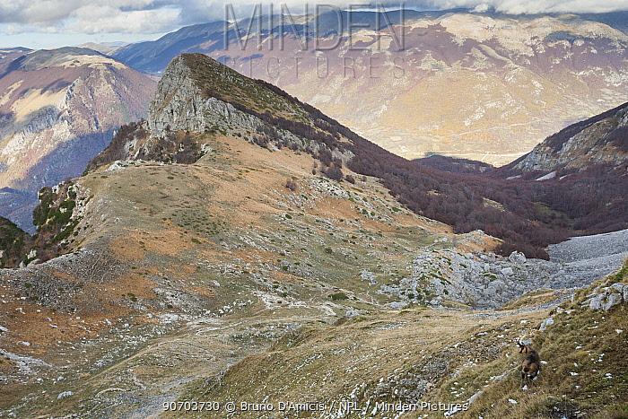 Apennine chamois (Rupicapra pyrenaica ornata) adult in mountain habitat. Endemic to the Apennine mountains. Abruzzo, Italy, November.