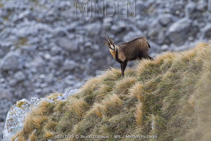 Apennine chamois (Rupicapra pyrenaica ornata) adult male. Endemic to the Apennine mountains. Abruzzo, Italy, November.