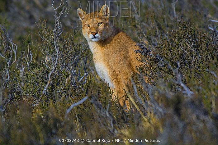 Cougar (Puma concolor) resting in vegetation, Torres del Paine National Park, Chile