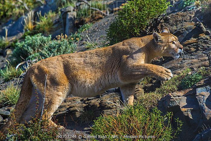 Wild Cougar (Puma concolor) walking across rocks, Torres del Paine National Park, Chile.