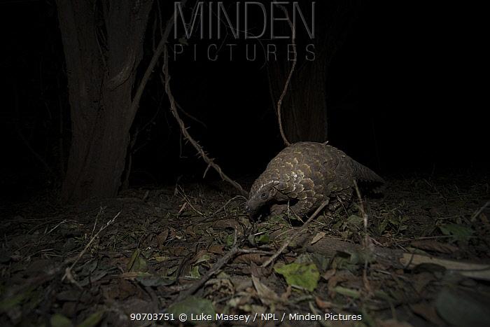 Cape pangolin (Smutsia temminckii) foraging at night. South Luangwa National Park, Zambia.