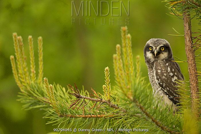 Hawk Owl (Surnia ulula) perched in a pine, Finland, June.